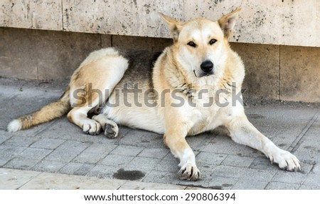 big dog lying on the ground