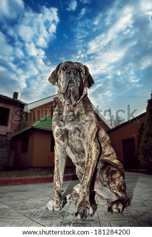 Big dog sitting outdoors and protects the house - stock photo