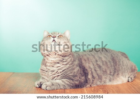 Big domestic cat laying and looking up front mint green background - stock photo