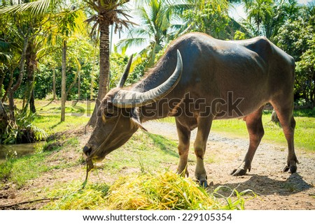 Big domestic water buffalo eating grass. Vietnam - stock photo
