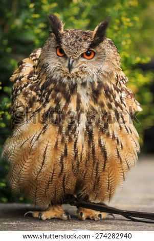 big eagle owl is bristling - stock photo