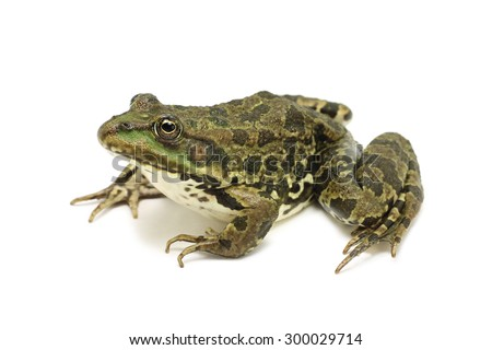 big -eared brown frog on a white background