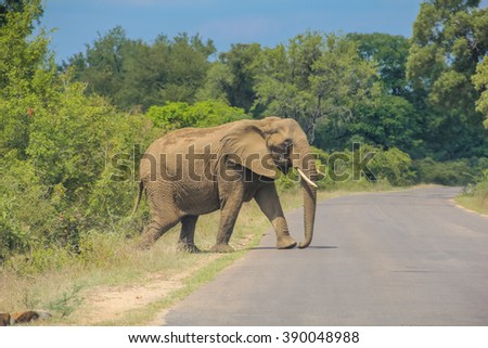 Big elephant crossing the paved road at Kruger National Park