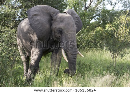 big elephant in national kruger wild park south africa near hoedspruit at te orphan gate