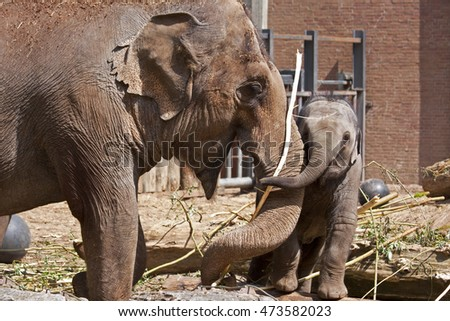 Big elephant is playing with little elephant in a zoo