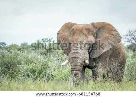 Big Elephant standing in the high grass in the Etosha National Park, Namibia.