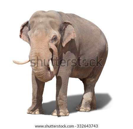 big elephant standing on a white background. isolated