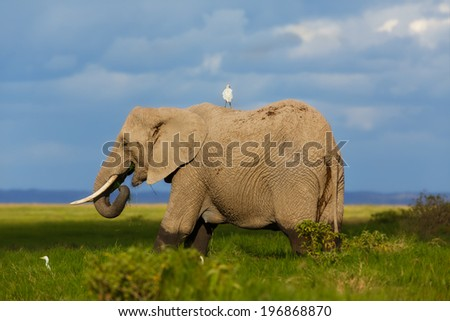 Big Elephant with Cattle Egret eating in the swamp of Amboseli National Park, Kenya - stock photo