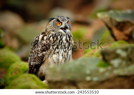 Big Eurasian Eagle Owl, Bubo bubo, with open bill in rock with green moss - stock photo