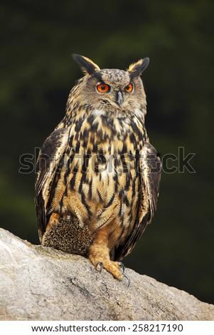 Big Eurasian Eagle Owl with kill hedgehog in talon, sitting on stone - stock photo