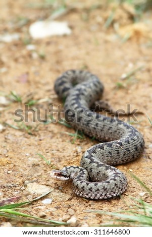 big european adder basking on a mountain road ( Vipera berus )