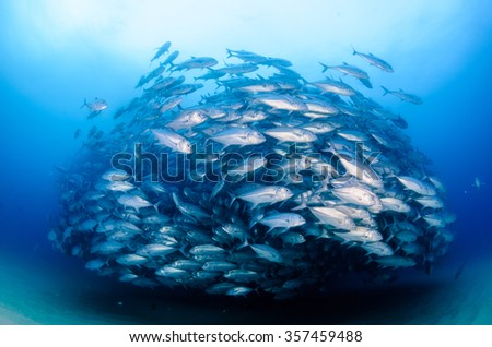 Big eye Trevally Jack, (Caranx sexfasciatus) Forming a polarized school, bait ball or tornado. Cabo Pulmo National Park, Cousteau once named it The world's aquarium. Baja California Sur,Mexico.  - stock photo