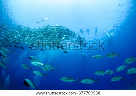 Big eye Trevally Jack, (Caranx sexfasciatus) Forming a polarized school, bait ball or tornado. Cabo Pulmo National Park, The world's aquarium. Baja California Sur,Mexico.  - stock photo