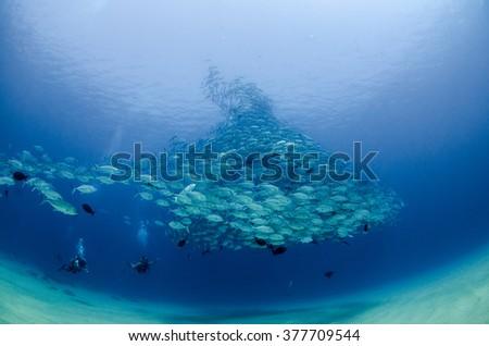 Big eye Trevally Jack, (Caranx sexfasciatus) Forming a polarized school, bait ball or tornado. Cabo Pulmo National Park, The world's aquarium. Baja California Sur,Mexico.  - stock photo