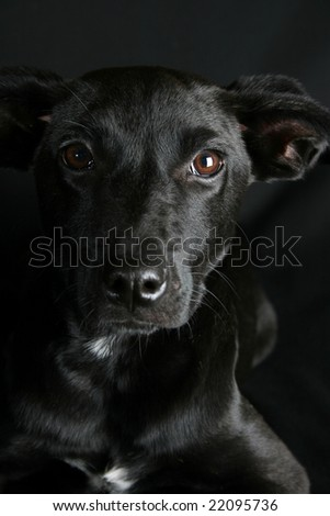 Big eyed, Mixed breed puppy with black coat