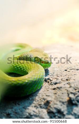 Big-Eyed Pit Viper ,Trimeresurus macrops Green Snake - stock photo