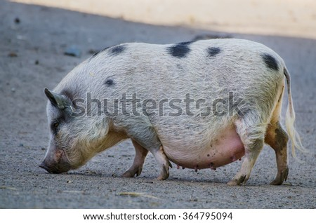 Big female farm pig with black spots grazing at the farm