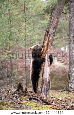 big female of brown bear (Ursus arctos) in winter forest, start climb on the tree, Europe, Czech republic - stock photo