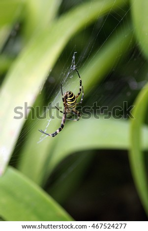 Big female wasp spider with typical black and yellow stripes on the island Sao Miguel (Azores, Portugal)