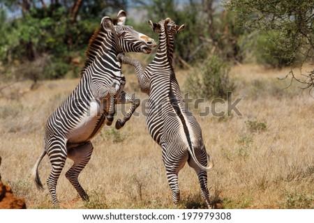 Big fight between two Grevy zebra males during the mating season in Samburu National Reserve, Kenya - stock photo