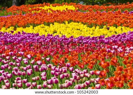 Big flowerbed (meadow) with many tulips of different colours (red, yellow, purple).