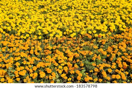 Big flowerbed with many marigolds of orange and yellow colours.