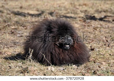 Big fluffy Chow Chow dog. The Chow Chow is a sturdily built dog, square in profile, with a broad skull and small, triangular, erect ears with rounded tips. Dog breed originally from China - stock photo