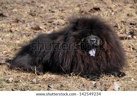 Big fluffy dog is on the dry grass. The Chow Chow is a sturdily built dog, square in profile, with a broad skull and small, triangular, erect ears with rounded tips. ?og breed originally from China - stock photo