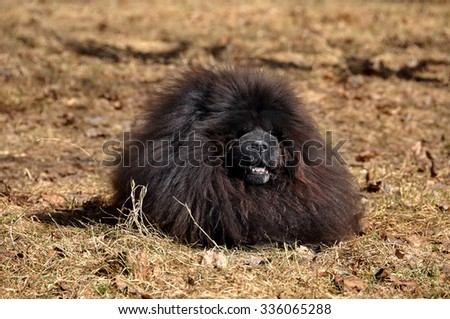 Big fluffy dog is on the dry grass. The Chow Chow is a sturdily built dog, square in profile, with a broad skull and small, triangular, erect ears with rounded tips. Dog breed originally from China - stock photo