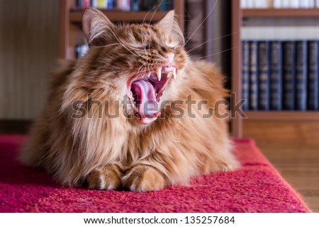 Big fluffy ginger cat yawns widely, amid shelves