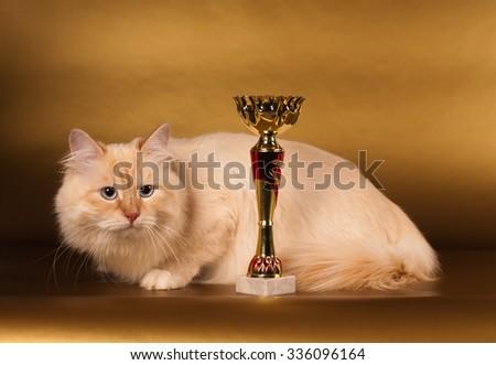 Big fluffy purebred siberian cat on golden background - stock photo
