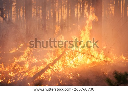 Big forest fire and clouds of dark smoke in pine stands. Flame is starting to damage the trunk. Whole area covered by flame - stock photo