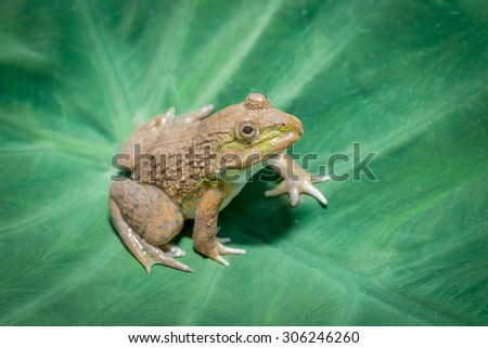 Big frog sitting on a green leaf lily