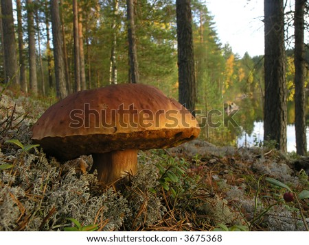 big fungus (boletus sp.) in the finnish taiga - stock photo