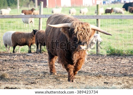 big furry bull on outdoor summer pasture background - stock photo