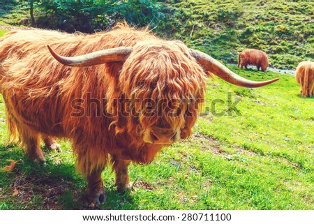 Big furry highland cow grazing in sunny field looking into camera with funny expression. - stock photo