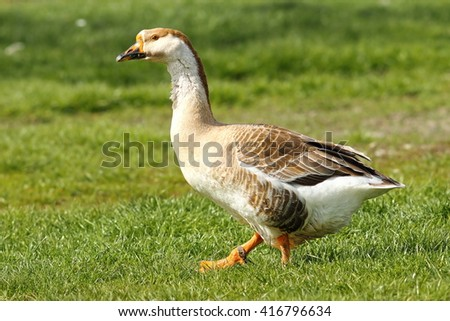 gander stock photos images pictures shutterstock