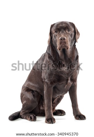 Big gentle chocolate labrador retriever sitting looking at the camera with a docile expression, over white - stock photo