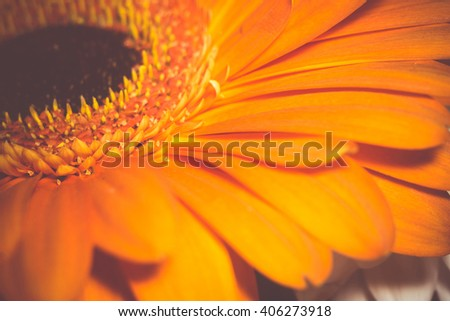 Big gerbera flower of bright orange color macro photo, vintage background.