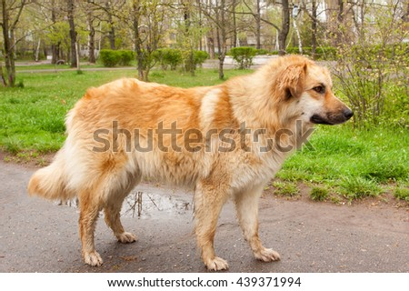 big golden dog in the park after rain
