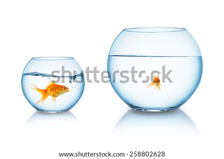big goldfish is being bullied in a fishbowl - stock photo