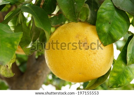 big grapefruit on the tree