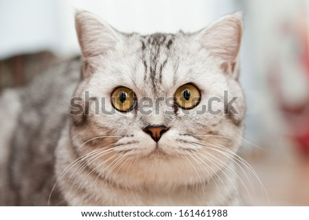 Big gray cat - a portrait close up