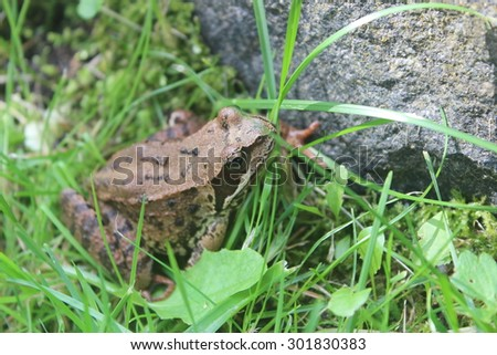 Big green frog in grass closeup