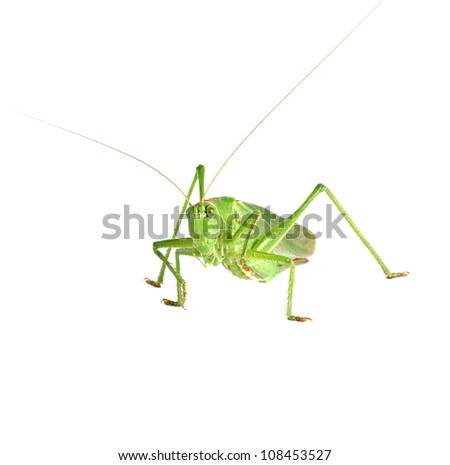 Big green grasshopper isolated on a white background. Studio shot.