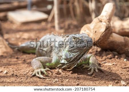 big green iguana - stock photo