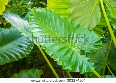 big green leaf in forest, giant taro