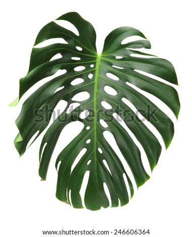 Big green leaf of Monstera plant on white background - stock photo