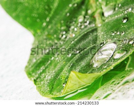 Big green leaf with water droplets Closeup