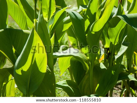 Big green leaves